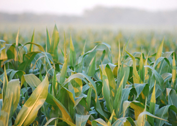 The environmental costs of green energy: Biofuels