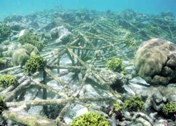 'Biorock' process grows coral reefs with electricity