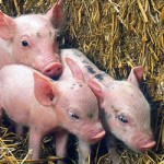 Enviropigs: A controversial solution for a nonexistent problem