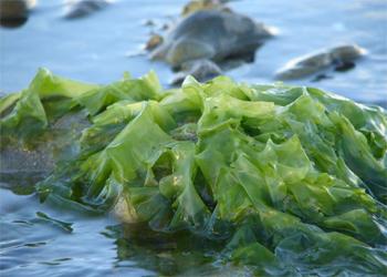Is Seaweed the Future of Biofuel?